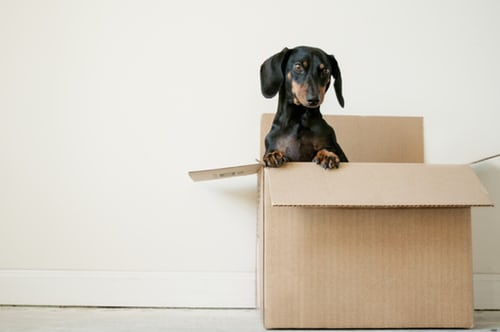A dog popping out of a moving box